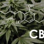 CBG – działanie i właściwości kannabigerolu