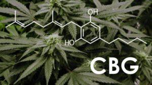 CBG - działanie i właściwości kannabigerolu
